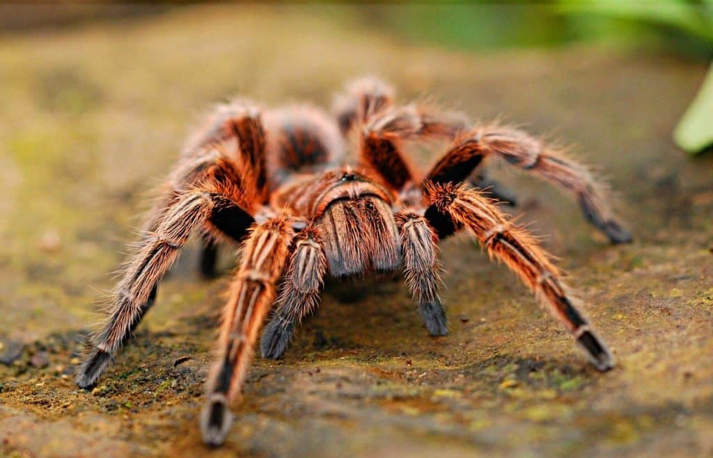 Do Pet Tarantulas Recognize Their Owners